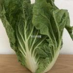 白菜(横から撮影)